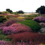 Coastal Heather Garden